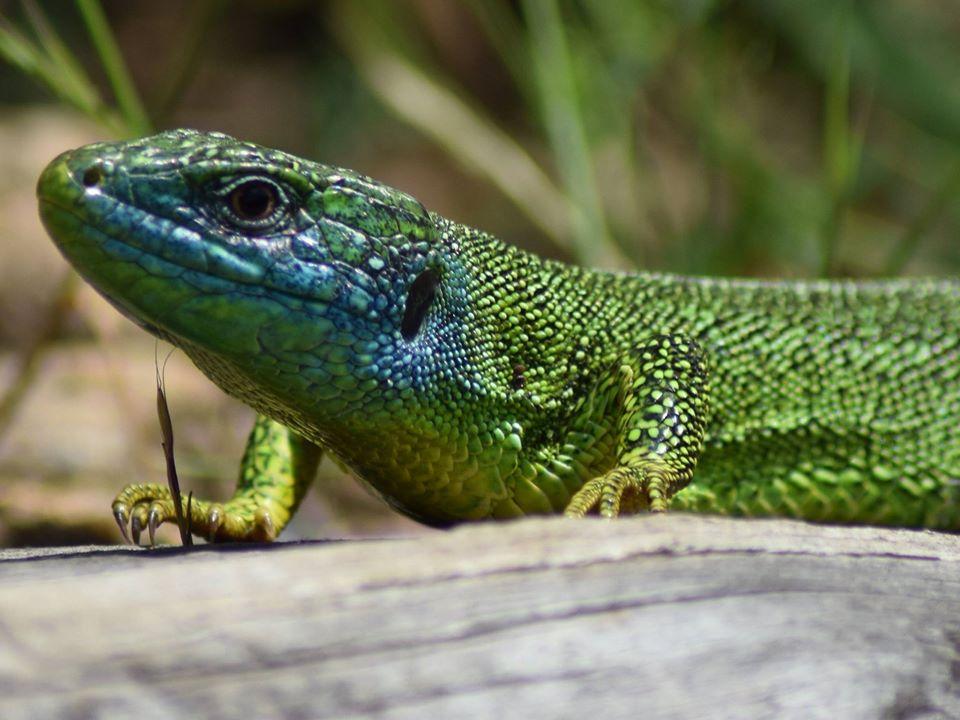 Lézard vert, espèce emblématique en Monts & Lacs en Haut-Languedoc