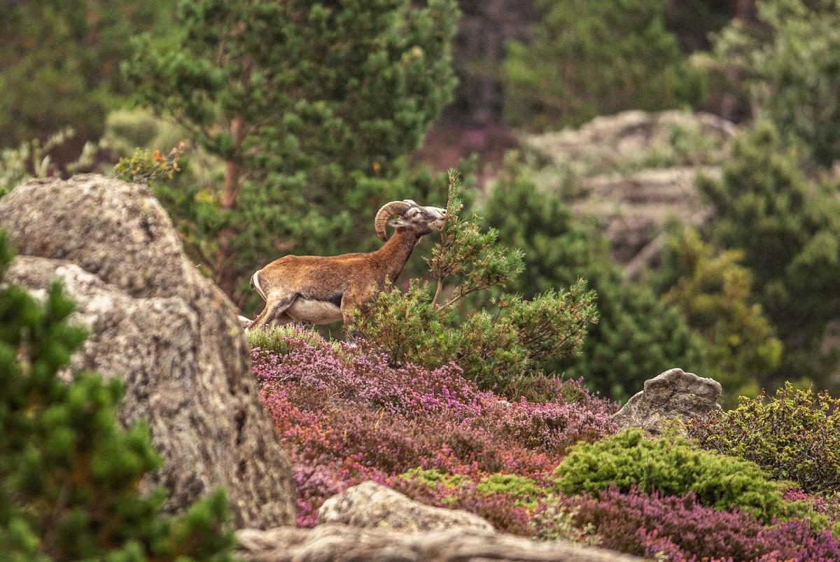 Mouflon méditerranéen du Caroux